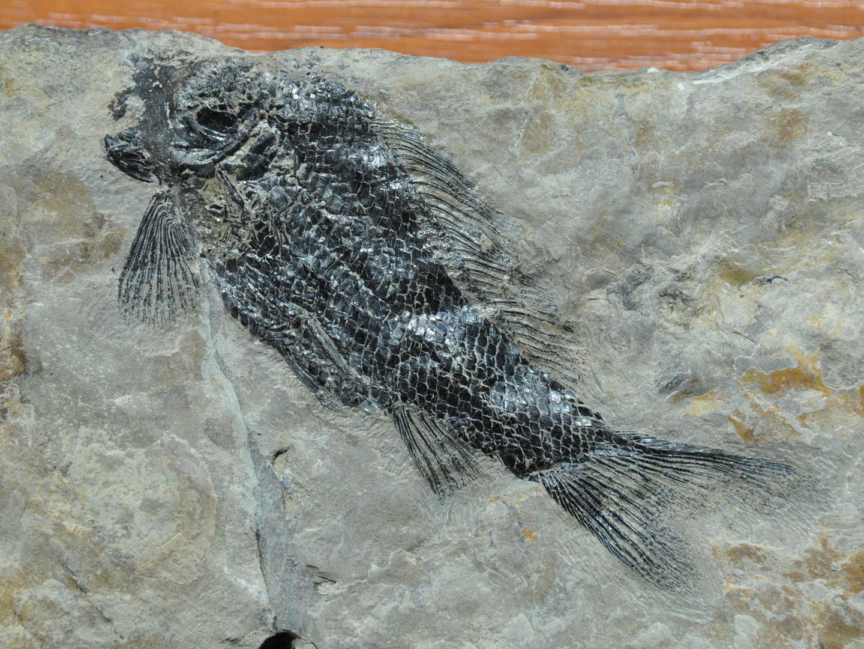 Fisch : Legnonotus cf. krambergeri von