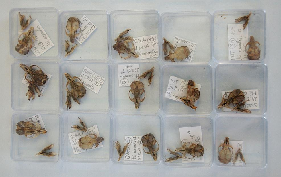 Schädelsammlung von Kleinsäugern (Mäuse, Spitzmäuse) aus dem Unteren Rheintal und Rheindelta von