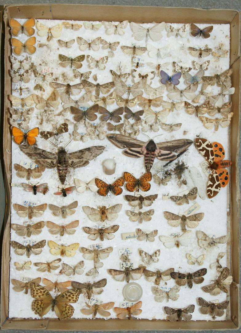 Schmetterlingssammlung Dr. Hartwig Baer von